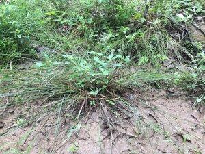 Carex swanii - Joey Shaw