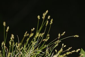 Carex texensis - Dwayne Estes