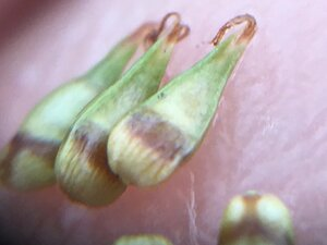 Carex texensis - Joey Shaw