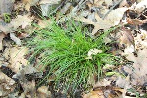 Carex timida - Dwayne Estes