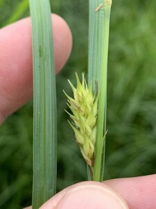 Carex trichocarpa - Dwayne Estes