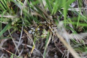 Carex umbellata - Dwayne Estes