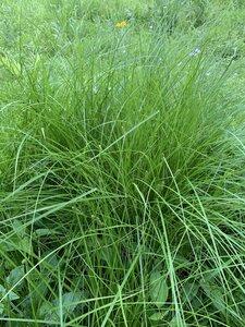 Carex vulpinoidea - Dwayne Estes
