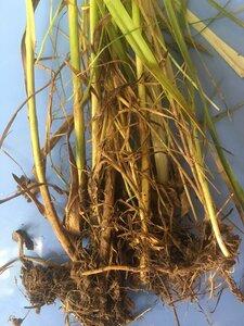 Carex vulpinoidea - Joey Shaw