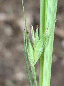 Carex willdenowii - Dwayne Estes