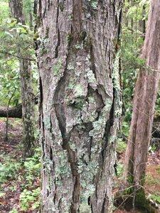 Carya carolinae-septentrionalis - Dwayne Estes