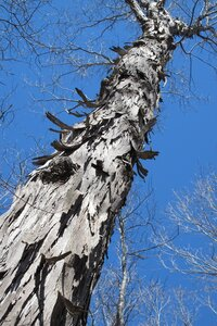 Carya carolinae-septentrionalis - Milo Pyne