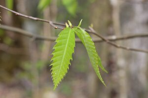 Castanea dentata - Ashley B. Morris
