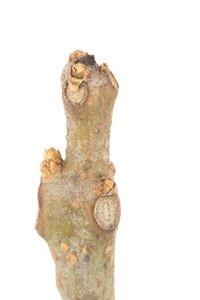 Catalpa speciosa - Janet James