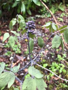 Caulophyllum giganteum - Sunny Fleming