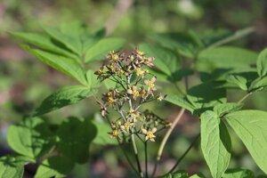 Caulophyllum thalictroides - Ashley B. Morris