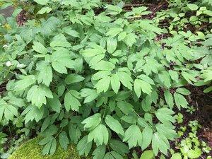 Caulophyllum thalictroides - Joey Shaw