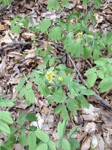 Caulophyllum thalictroides - Milo Pyne