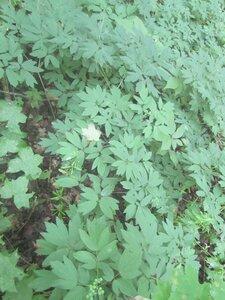 Caulophyllum thalictroides - Tara Littlefield