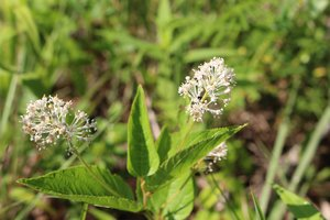 Ceanothus americanus - Ashley B. Morris