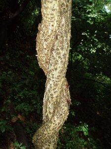 Celastrus orbiculatus - Milo Pyne
