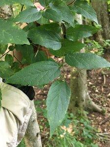 Celtis occidentalis - Joey Shaw