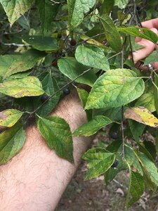 Celtis tenuifolia - Dwayne Estes
