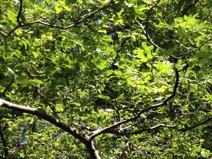 Celtis tenuifolia - Milo Pyne