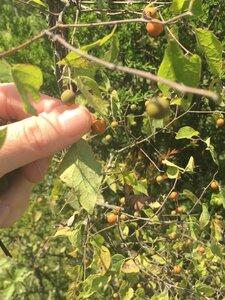Celtis tenuifolia - Tara Littlefield