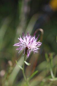 Centaurea stoebe ssp. micranthos - Ashley B. Morris