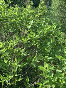 Cephalanthus occidentalis - Dwayne Estes