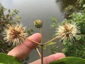 Cephalanthus occidentalis - Joey Shaw