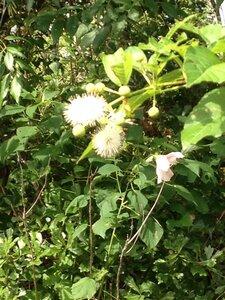 Cephalanthus occidentalis - Milo Pyne