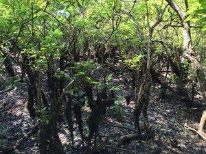 Cephalanthus occidentalis - Sunny Fleming