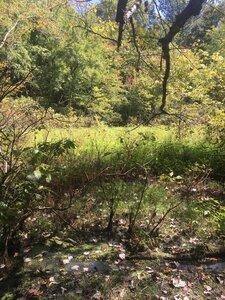 Cephalanthus occidentalis - Tara Littlefield