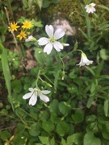 Cerastium velutinum var. velutinum - Tara Littlefield