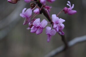 Cercis canadensis var. canadensis - Ashley B. Morris