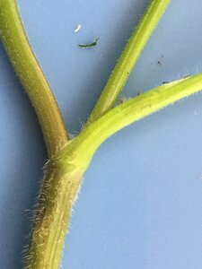 Chaerophyllum tainturieri - Joey Shaw