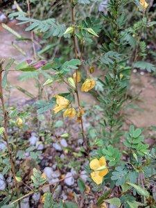 Chamaecrista fasciculata var. fasciculata - Alaina Krakowiak