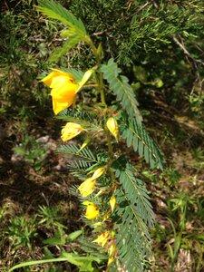 Chamaecrista fasciculata var. fasciculata - Sunny Fleming