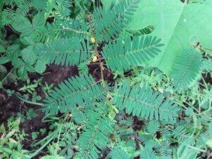 Chamaecrista nictitans ssp. nictitans - Alaina Krakowiak