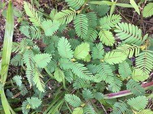 Chamaecrista nictitans ssp. nictitans - Dwayne Estes