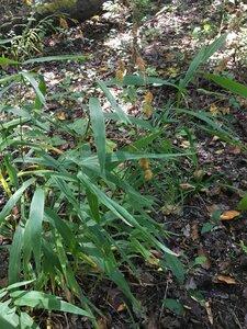 Chasmanthium latifolium - Joey Shaw