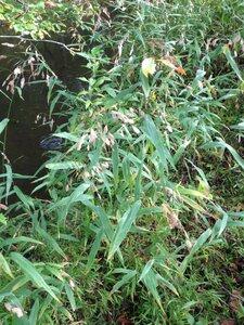 Chasmanthium latifolium - Milo Pyne