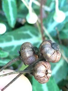 Chimaphila maculata - Joey Shaw