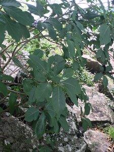 Chionanthus virginicus - Tara Littlefield