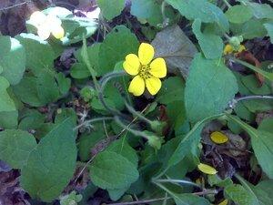 Chrysogonum virginianum var. brevistolon - Joey Shaw
