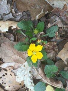 Chrysogonum virginianum var. brevistolon - Sunny Fleming