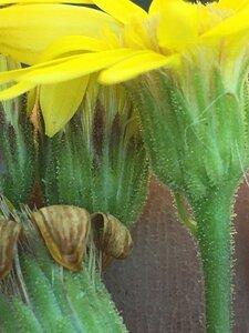Chrysopsis mariana - Joey Shaw
