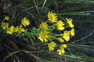 Chrysopsis mariana - Milo Pyne