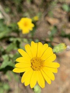 Chrysopsis mariana - Shawn Krosnick