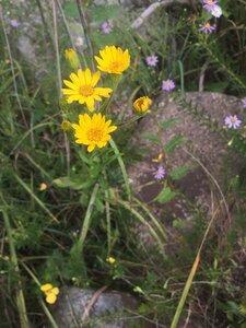 Chrysopsis mariana - Tara Littlefield