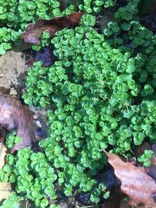 Chrysosplenium americanum - Tara Littlefield