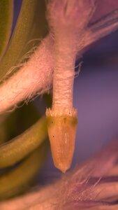 Cichorium intybus - Joey Shaw