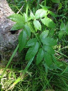Cicuta maculata - Milo Pyne